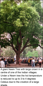 A-giant-Neem-Tree-with-large-crown-neemresearch-Klaus-Ferlow